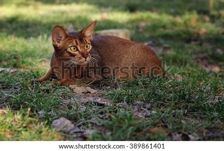 Abyssinian cat hunting in park