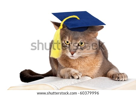 Abyssinian cat in graduation cap isolated on white - stock photo