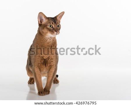 Abyssinian cat is surprised, White background with reflection. - stock photo