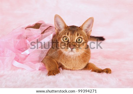 Abyssinian cat kitten lying in pink ribbons on pink fake fur background