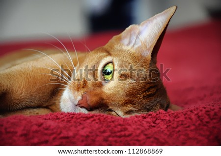 Abyssinian cat looking - stock photo