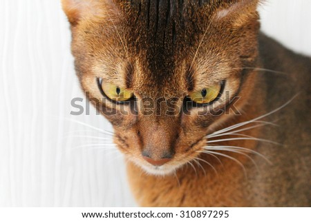 Abyssinian cat looking down - stock photo