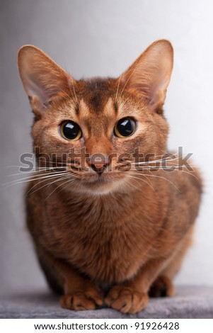 Abyssinian cat looking intently at camera - stock photo