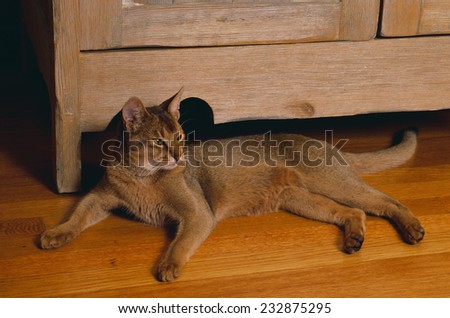 Abyssinian Cat Lounging on Floor - stock photo