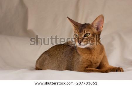 Abyssinian cat lying - stock photo