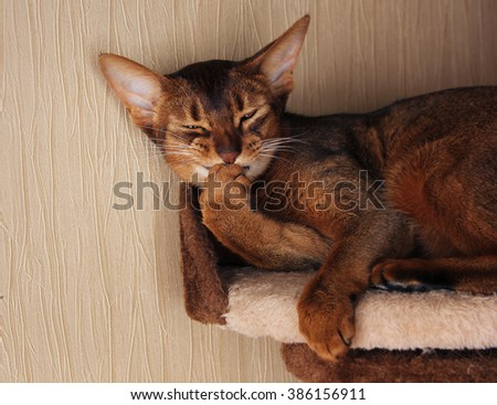 Abyssinian cat lying in cat house, biting claws - stock photo