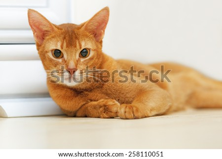 Abyssinian cat lying on the floor.  - stock photo