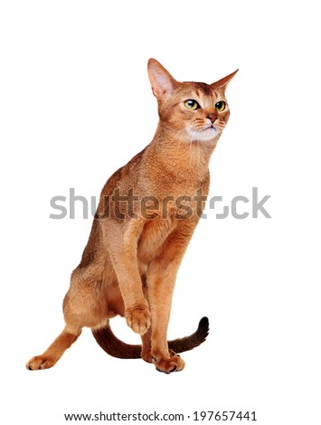Abyssinian cat making a step
