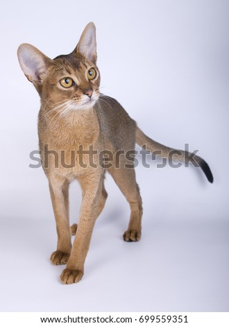 Abyssinian cat on white background