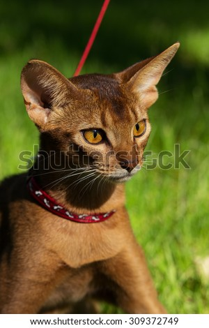 Abyssinian cat outside - stock photo