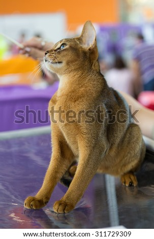 Abyssinian cat red color sits at the exhibition cage - stock photo