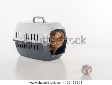 Abyssinian cat sitting in the box with Toy ball.  - stock photo