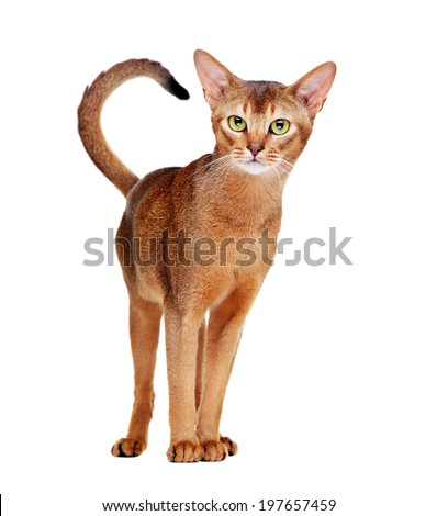 Abyssinian cat  standing front view