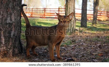 Abyssinian cat walking in park - stock photo