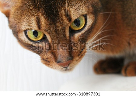 Abyssinian cat watching something attentively. Closeup shot. - stock photo