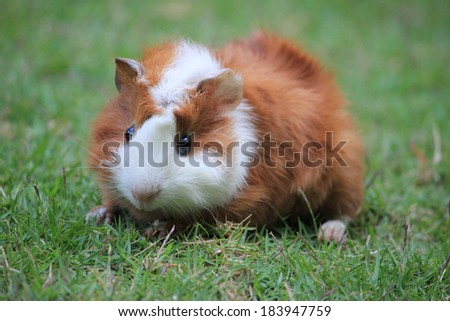 Abyssinian Guinea Pig  on the grass  - stock photo