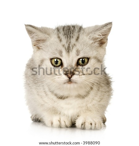 Abyssinian in front of a white background - stock photo