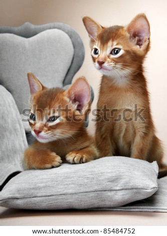 Abyssinian kitten. Age - 1 month - stock photo