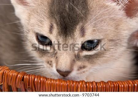 Abyssinian kitten in basket - stock photo