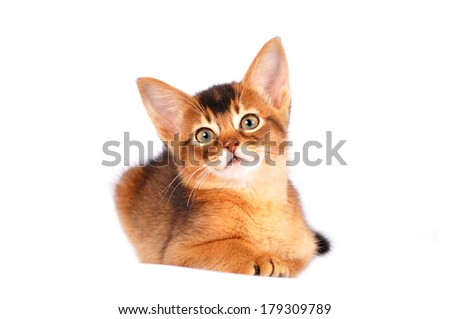 Abyssinian kitten liyng on white background isolated on white and looking at camera