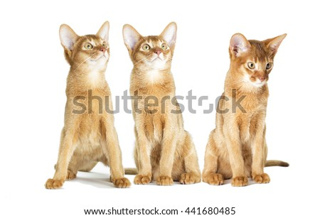 Abyssinian kitten looking