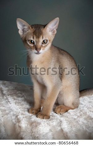 Abyssinian kitten ruddy in color posing on a blanket - stock photo