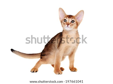 abyssinian kitten  standing side view