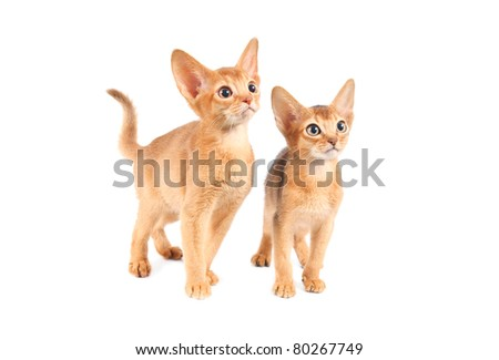 Abyssinian kittens isolated on white background