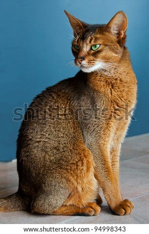 Abyssinian purebred cat with green eyes - stock photo