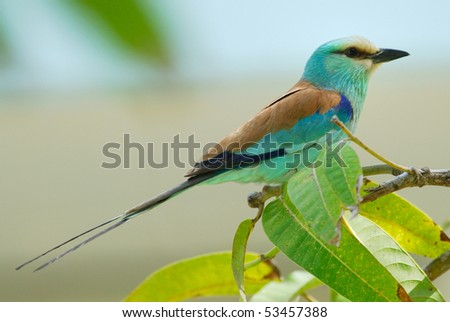 Abyssinian Roller in The Gambia, Africa - stock photo