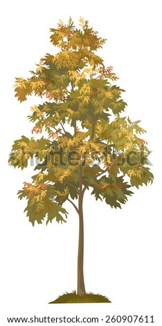 Acacia autumnal tree with leaves and grass, isolated on white background.  - stock photo