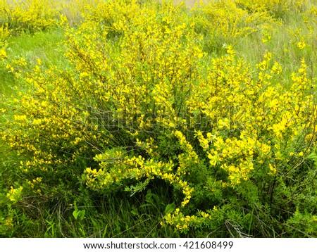 acacia bush blooming - stock photo