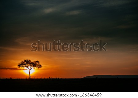 acacia in sunset - stock photo