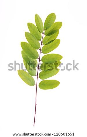 Acacia leafs on white background - stock photo