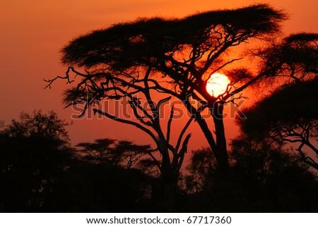 Acacia tree before sun set down in Amboseli park, Kenya - stock photo
