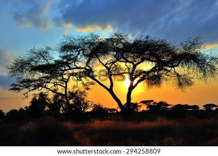 Acacia tree before sun sets down in Amboseli park, Kenya.  - stock photo