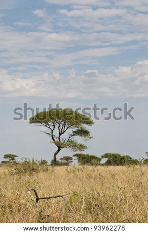 Acacia Tree in South Africa, Region Limpopo