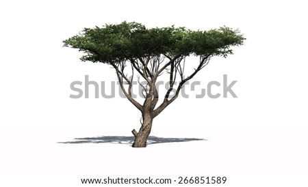 Acacia tree - isolated on white background - stock photo