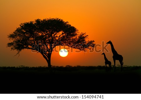 Acacia tree, sunset and giraffes in silhouette in Africa - stock photo