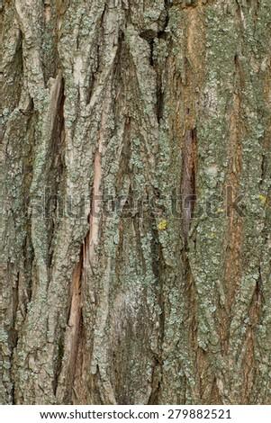 acacia tree trunk - stock photo