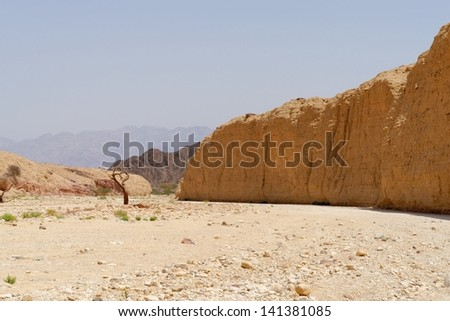 Acacia tree trunk in the desert near Eilat, Israel