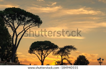 Acacia trees in Florence