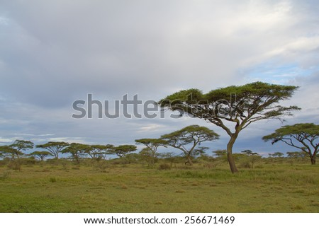 Acacia trees on the African savannah - stock photo