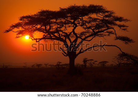 Acacia Tressts in silhouette on the Serengeti plains in Africa - stock photo