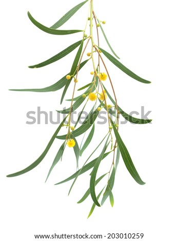 acacia twig with yellow fluffy ball flowers  isolated on white - stock photo
