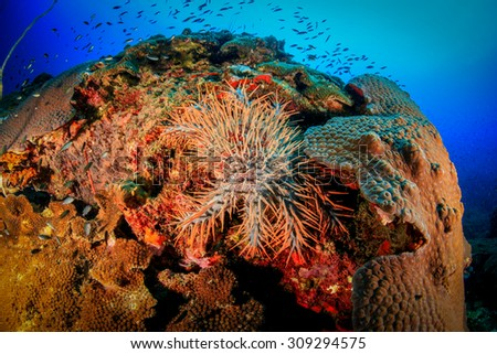 Acanthaster ellisii Panamic crown-of-thorns seastar in Thailand at Koh tao island