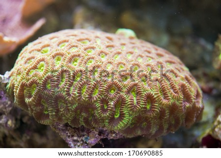 Acanthastrea Lordhowensis hard coral - colorful coral sea - stock photo