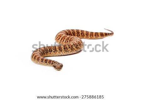 Acanthophis antarcticus, known as a Common Death Adder snake which is usually found in Australia. Snake is slithering forward towards the camera - stock photo