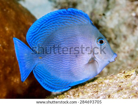 Acanthurus coeruleus is a surgeonfish found commonly in the Atlantic Ocean - stock photo
