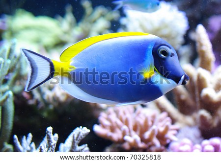 Acanthurus leucosternon powder blue tang and powderblue surgeonfish - stock photo